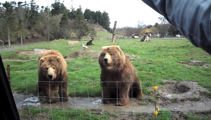 She Waves at 500-Pound Bear, But Watch The Bear's PRICELESS Reaction