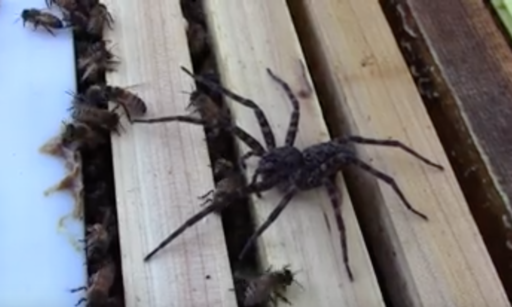 Spider Makes EPIC Mistake Trying to Enter A Beehive [VIDEO]