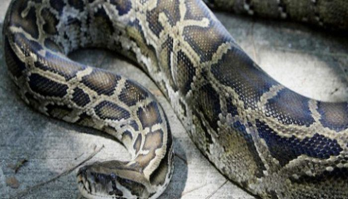 Woman Has Reptile Dysfunction After Python Gets Python Stuck In Her Ear [PHOTO]