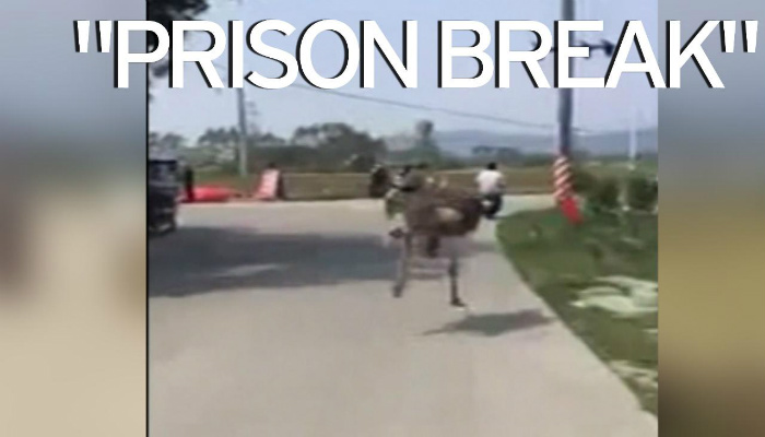 """PRISON BREAK"": Ostrich Creates Online Sensation After Footage Shows It's Daring Escape [VIDEO]"