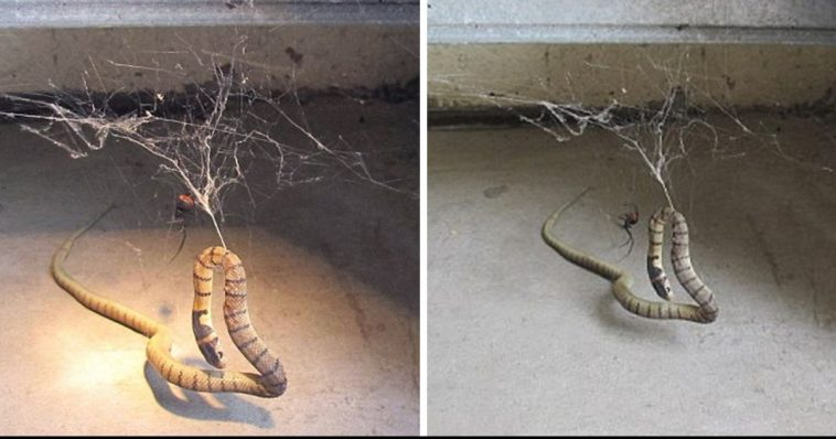Giant Redback Spider Catches A Snake… The End Is Horrible [VIDEO]