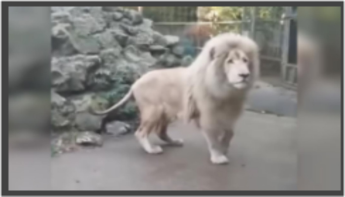 "Meet The Real Life ""Cowardly Lion"", You Won't Believe How Easily He Spooks! [VIDEO]"