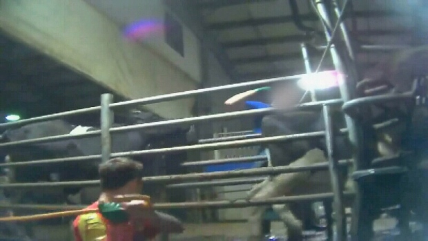 Dairy Workers Caught Abusing Cows