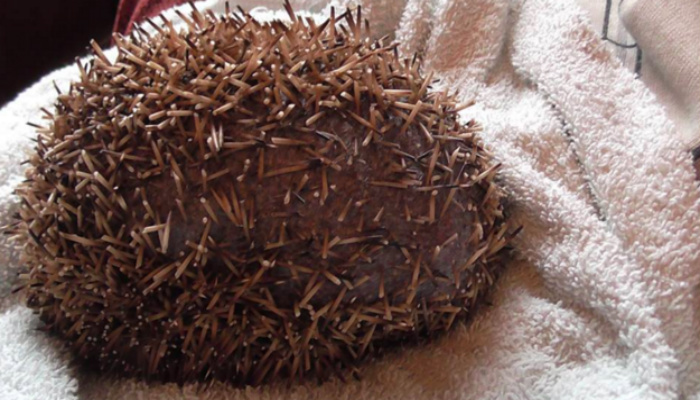 Man Spots Hedgehog Running Around Badly Injured And Is Horrified To Learn How It Happened. [PHOTOS]
