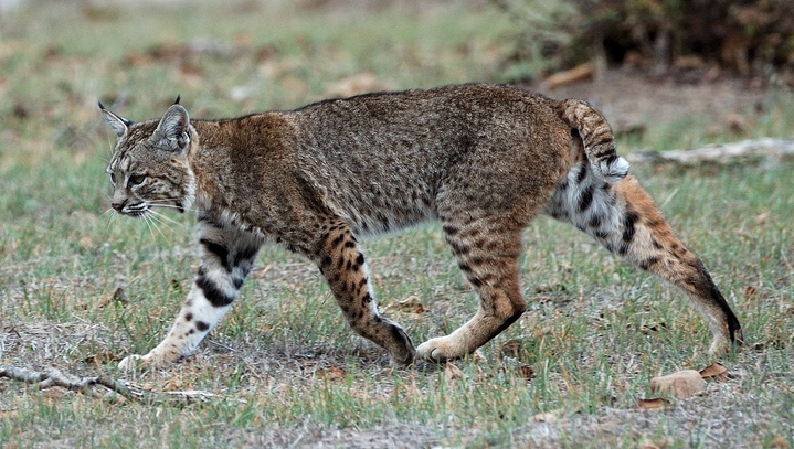 Bobcat Attacks Dog, Bystander Gives It a Ride of a Lifetime [VIDEO]
